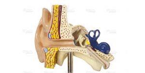 Réadaptation vestibulaire système vestibulaire oreille